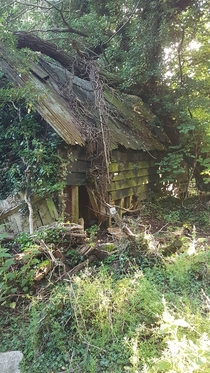 Old farm barn near my house has been reclaimed by the woods