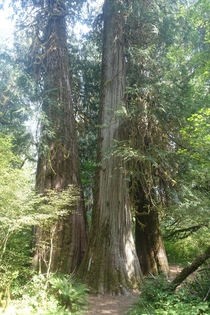 Old growth in Olympic National Park