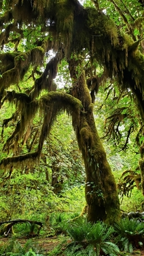Old growth rainforest Olympic Natl Park WA