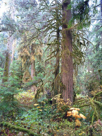 Old Growth Vancouver BC x