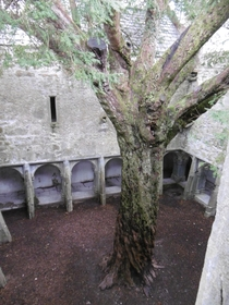 Old Jew Tree in the abandoned Muckross Abbey Killarney National Park Ireland