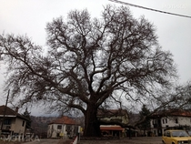 Old tree dating from the th century in the village of Teovo Republic of Macedonia x