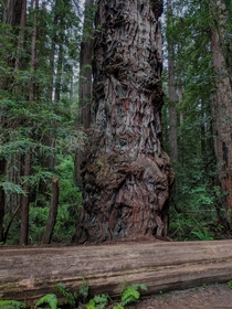 Old Warrior Jedediah Smith Redwoods State Park Del Norte County California
