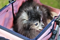 Older Blind Dog In Pink Stroller Visits Va Beach VA by Frank Butler