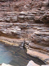 Olive python pulling a full grown Wallaroo up the side of the Canyon