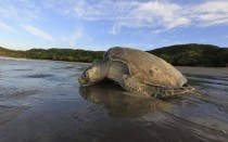 Olive Ridley sea turtle Lepidochelys olivacea returns to the ocean after nesting La Flor Beach Natural Reserve Nicaragua