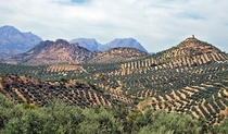 Olive tree hills in Andalusia Spain