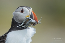 On A Windy Day - Puffin by J Uriarte