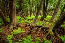 On the floor of a cedar forest in Ottawa Ontario fresh ferns sway in the breeze x Michael Higgins