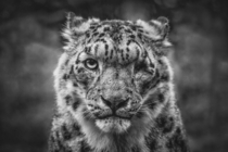 One-Eyed Snow Leopard Photographer Johannes Nollmeyer
