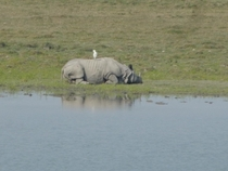 One horned rhino relaxing on the weekend
