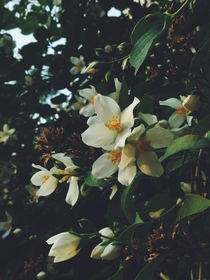 one more jasmines blossoms