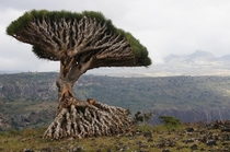 One more pic of the Dragon Blood Tree Socotra Island Yemen