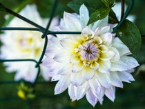 One of many Dahlia hybrid species