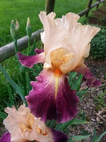 One of my early bearded iris Iris germanica
