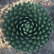 One of my favorite plants of all time Queen Victoria Agave - Agave victoriae-reginae