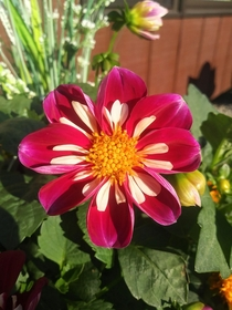 One of my Harlequin Dahlia blooms