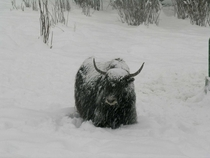 One of our yaks in a Colorado snow storm last winter