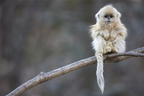 One of the most endangered primate species in the world - The Tonkin snub-nosed monkey x-post from rpics