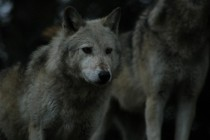 One of the pack Grey wolf Canis lupus