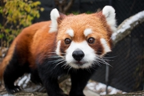 One of the Red Pandas at my local zoo