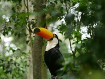 One of the Toucans in Gir Oga a wildlife sanctuary near Puerto Iguaz Argentina