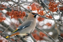 One of thousands this Bohemian Waxwing posed whilst denuding this ash tree of its berries