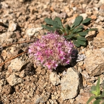 One Seeded Pussypaws Calyptridium monospermum Humboldt-Toiyabe National Forest California