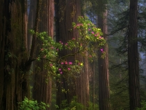 One tree growing out of another Redwood Forest California USA