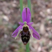 Ophrys scolopax woodcock bee orchid they mimic female insects to trick the males into mating with the flower and pollinating it