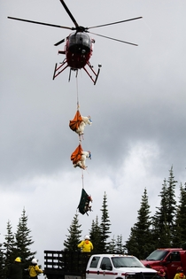 Opioid darts helicopters refrigerator trucks How to move a goat from one mountain range to another -- Wearing eye masks horn pads and leg straps goats dangle from a helicopter Photo credit Ramon Dompor  The Seattle Times