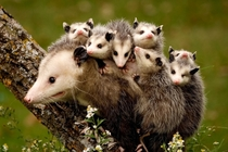Opossum Didelphimorphia A Mother marsupial with her  babies