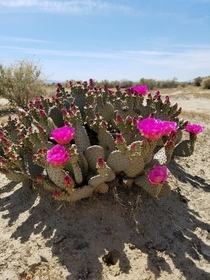 Opuntia Basilaris - Prickly Pear First bloom of  Mojave Ca  OC