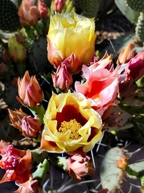 Opuntia sp Prickly Pear blooms