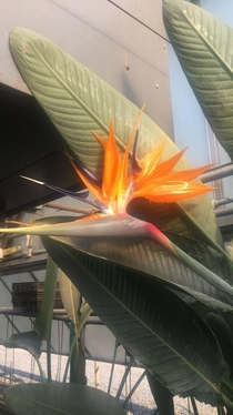 Orange bird-of-paradise Strelitzia reginae Greenhouse in New Jersey