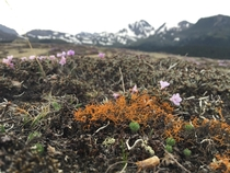 Orange-colored lichen fragile tundra and wildflowers growing on a -meter high mountain pass in Shangri-La Yunnan Province China June