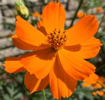 Orange Cosmos - Cosmos sulphureus