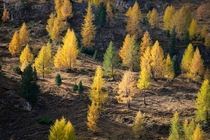 Orange Larches in the Dolomites  IG konstantinkraemer