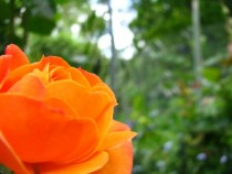 Orange Rose captured at my grans Red and Pink in comments Unaltered x