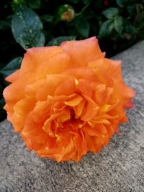 Orange Rose in Spring Utah