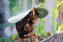 Orangutan holding a leaf on top on his head to protect himself from the rain_ Indonesia By Andrew Suryono