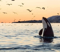 Orca picture by Tommy Simonsen