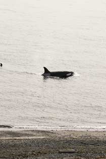 Orcas pass close to shore Whidbey Island Washington USA - who says you need to get on a boat to see whales