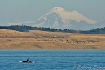 Orcinus Orca underneath Mt Baker  Photo by Brittany Bowles
