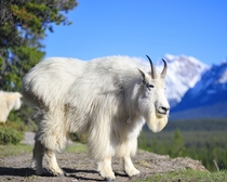 Oreamnos americanus Mountain goat a rupicaprid found only in Canada and United States of America USA is the best mountaineer on Planet Earth Photographer Brian Merry