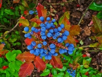 Oregon-Grape Mahonia Aquifolium