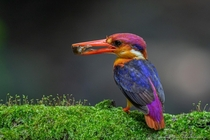 Oriental dwarf kingfisher Ceyx erithaca is a small red and yellow kingfisher averaging  cm  in in length yellow underparts with glowing bluish-black upperparts - Outskirts of Navi Mumbai Maharashtra India