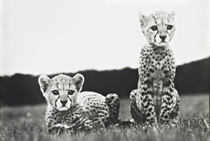 Orphaned cheetah cubs