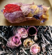 Osmia Avoseta is a solitary bee that builds a tiny nest made of flower petals for every egg it lays