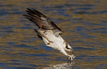 Osprey Pandion haliaetus diving for a meal Brad Lenear
